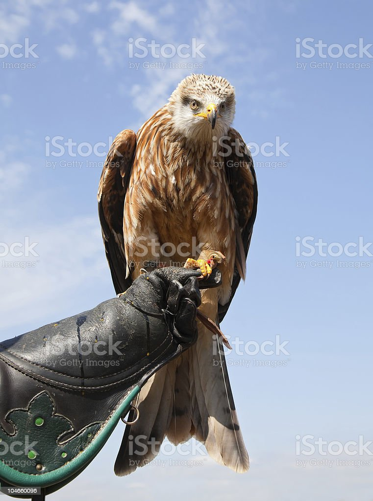 Rotmilan Greifvogel hover stock photo