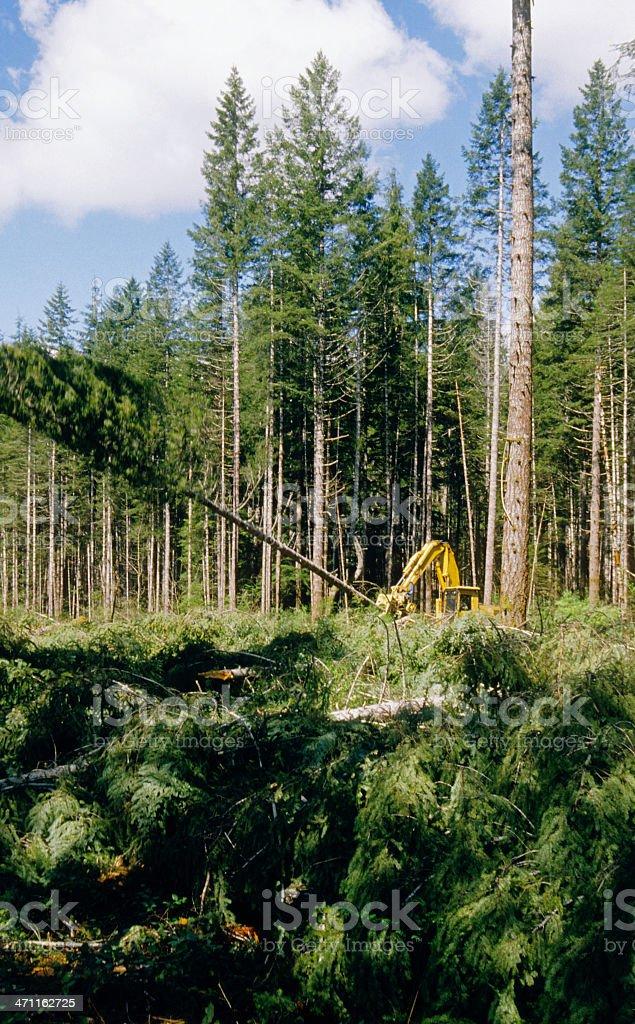 Rotosaw felling Douglas fir trees in Washington state royalty-free stock photo