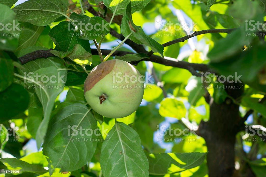 rotten apple stock photo