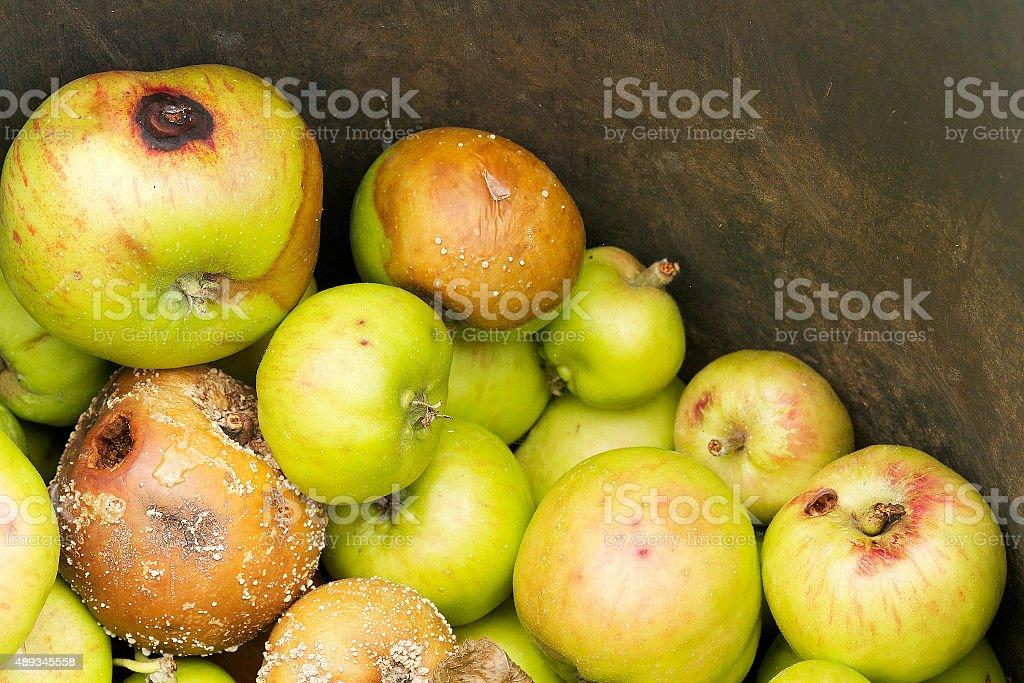Rotten Apples stock photo