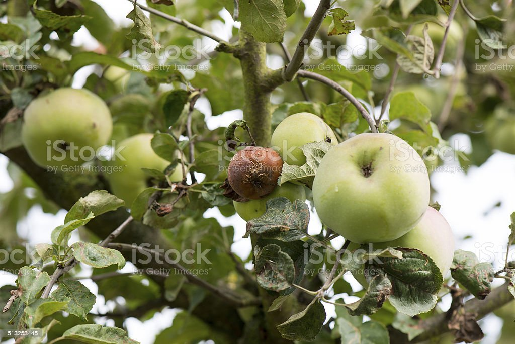Rotten apples stock photo