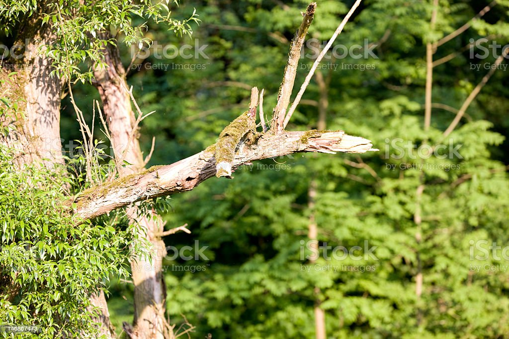 rotten branch royalty-free stock photo