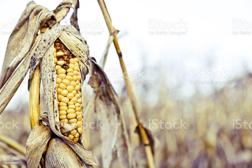 Rotten corn royalty-free stock photo