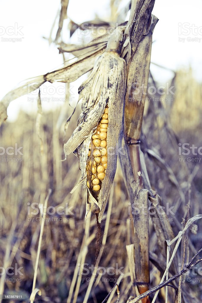 Rotten corn stock photo