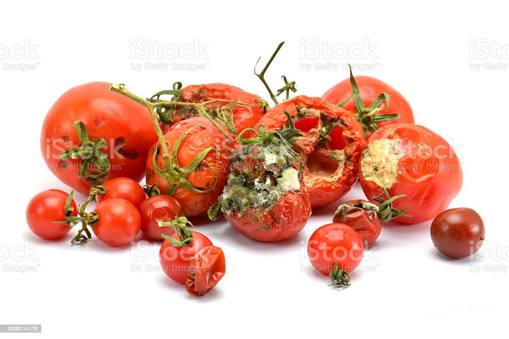 rotten old tomato with mildew isolated on white background stock photo