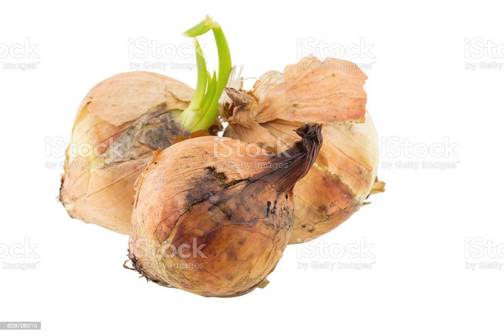 rotten onion isolated on white background stock photo