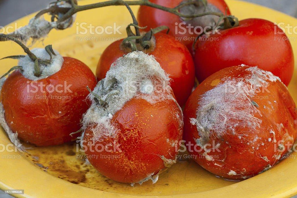 Rotten tomatos on vine royalty-free stock photo