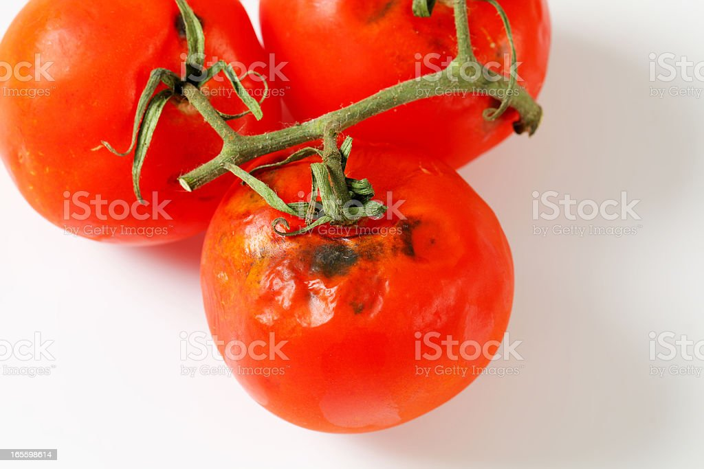 rotten tomatos stock photo