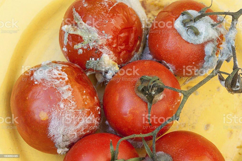 Rotten tomatos royalty-free stock photo