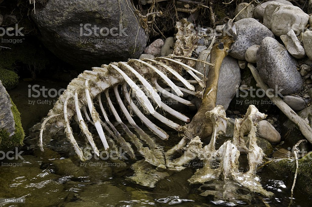 Rotting Elk Carcass in River with Skeleton Bones royalty-free stock photo