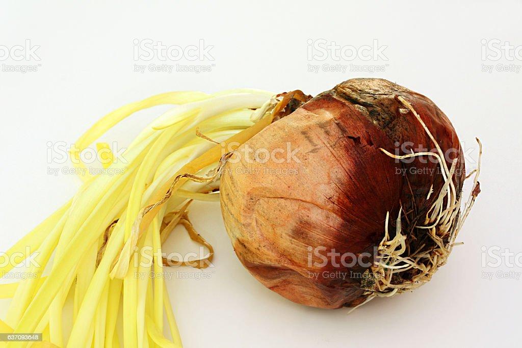 Rotting Onion stock photo