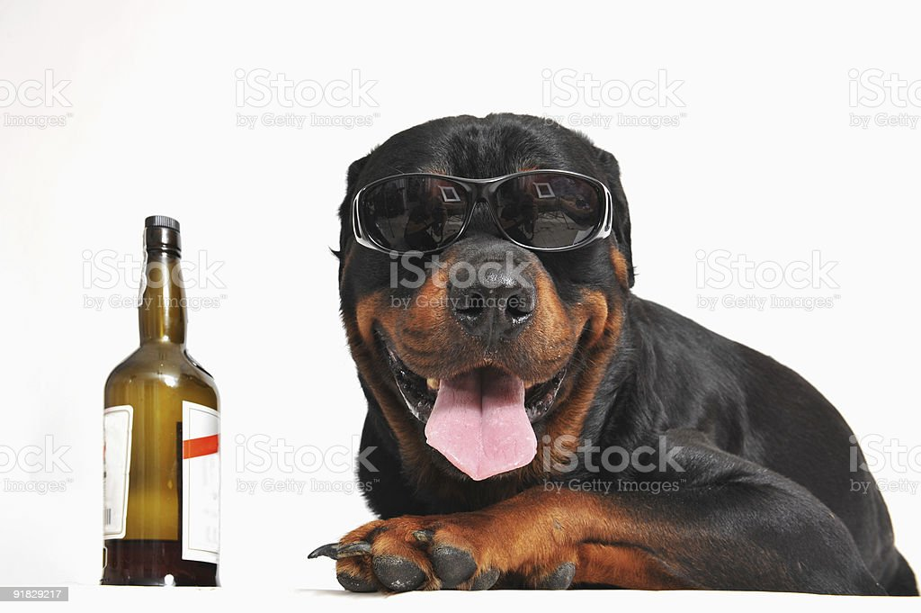 rottweiler, alcohol and sunglasses royalty-free stock photo