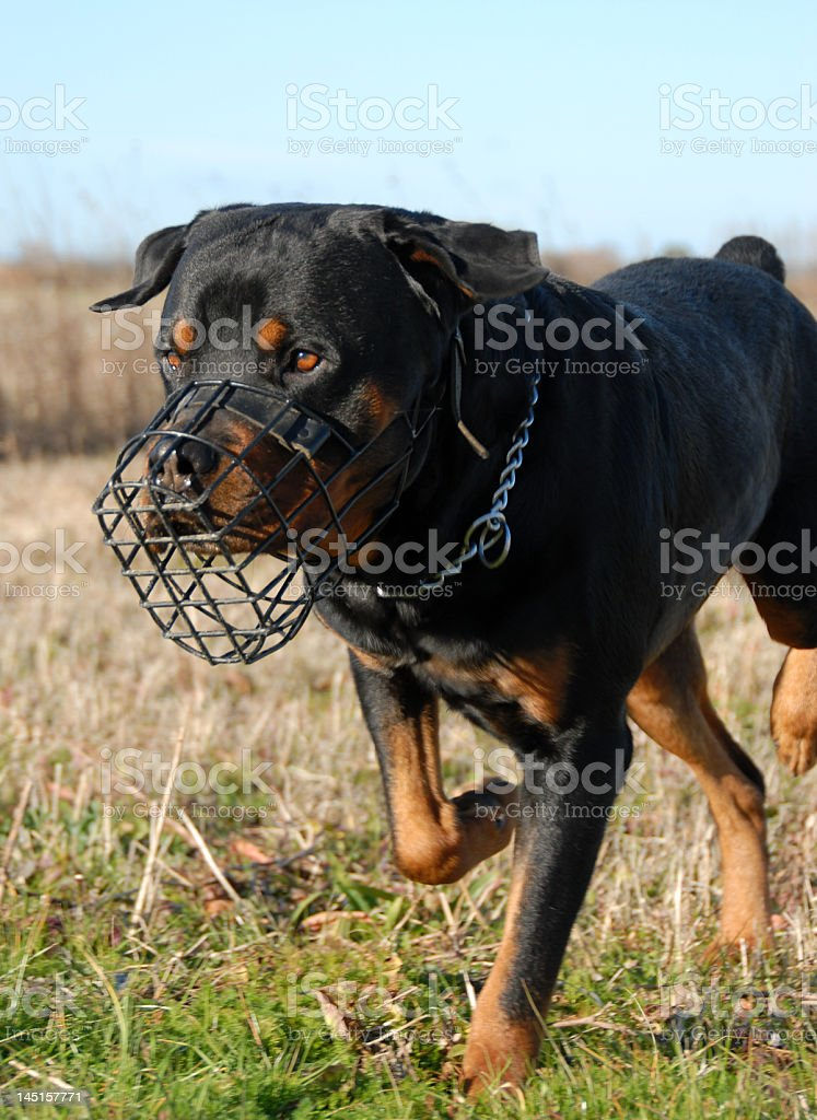 rottweiler and muzzle stock photo