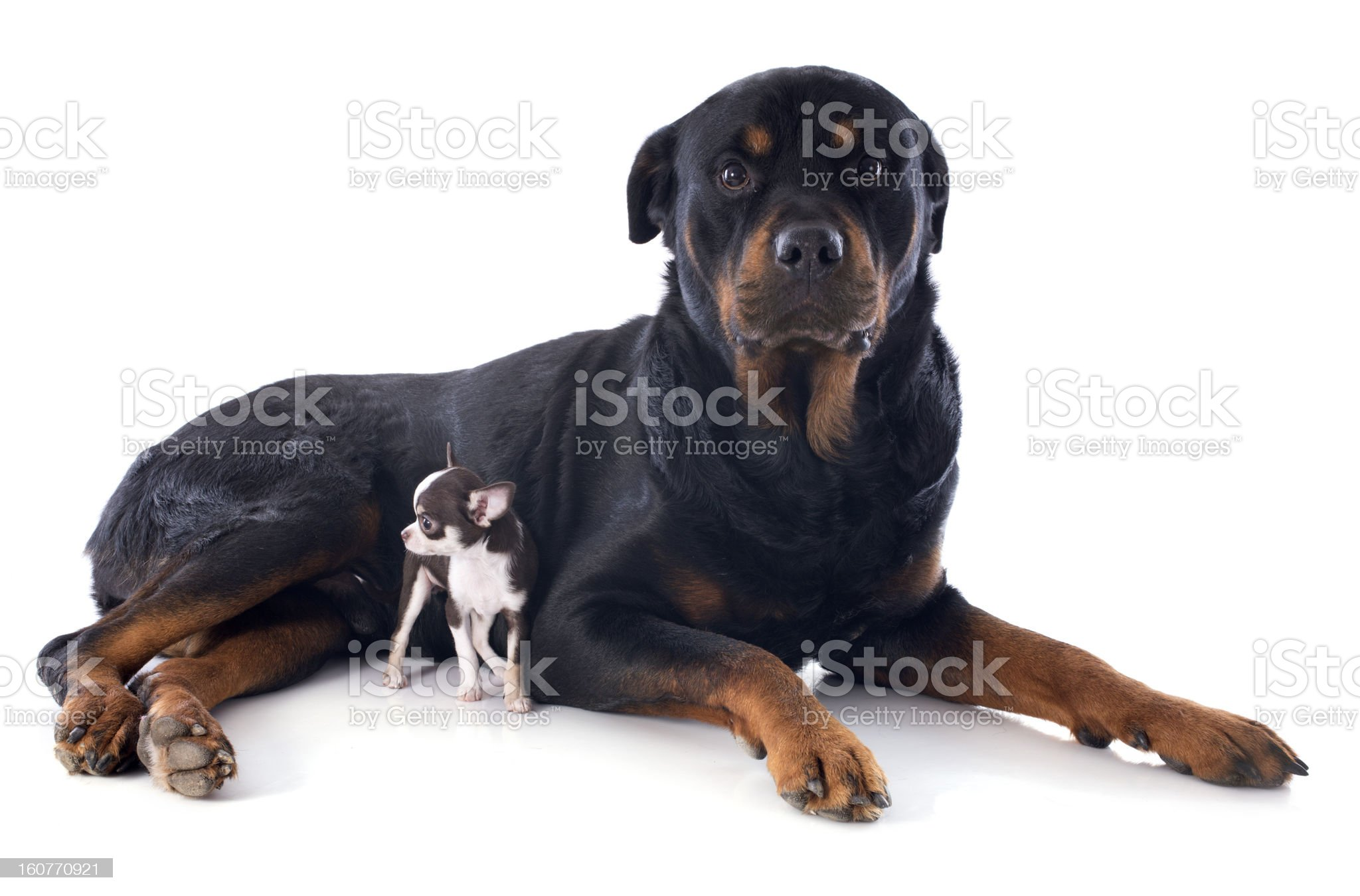 rottweiler and puppy chihuahua royalty-free stock photo