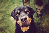 Rottweiler Dog Staring Into Camera Lens