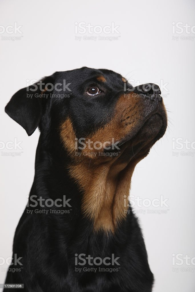 Rottweiler Looking Up royalty-free stock photo