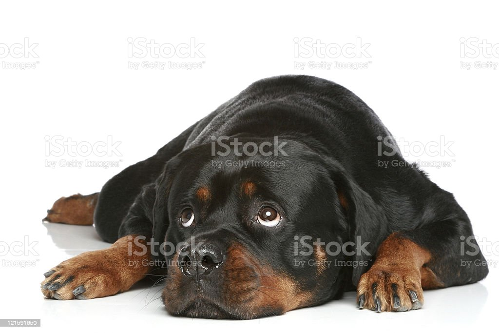 Rottweiler lying on white floor in front of white background royalty-free stock photo
