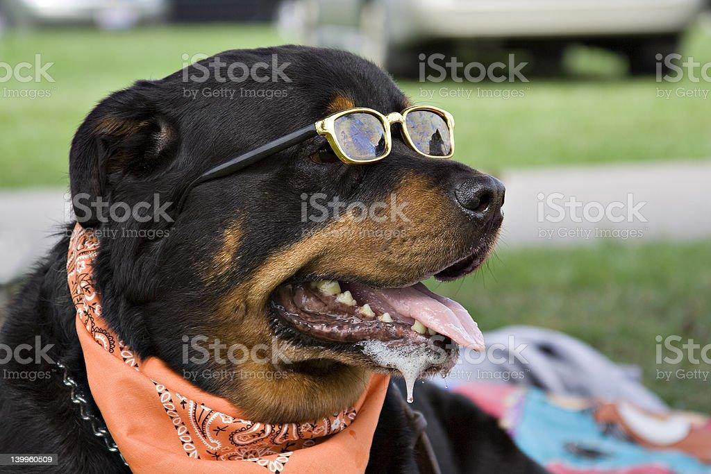 Rottweiler stock photo