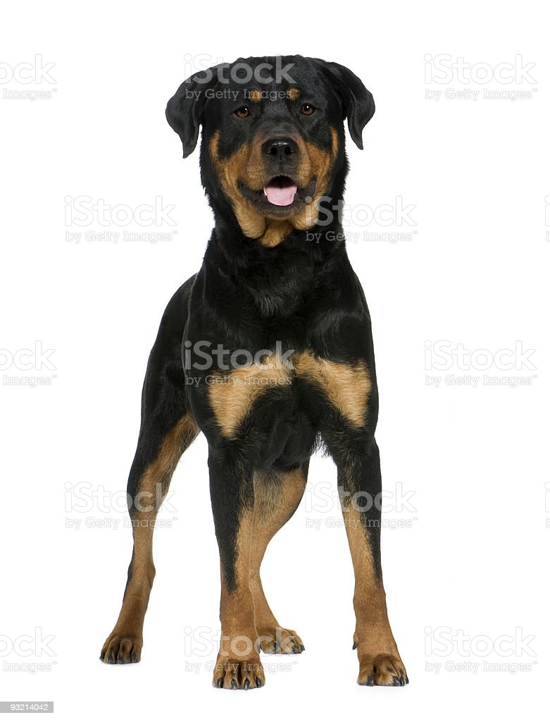 Rottweiler (2 years) royalty-free stock photo