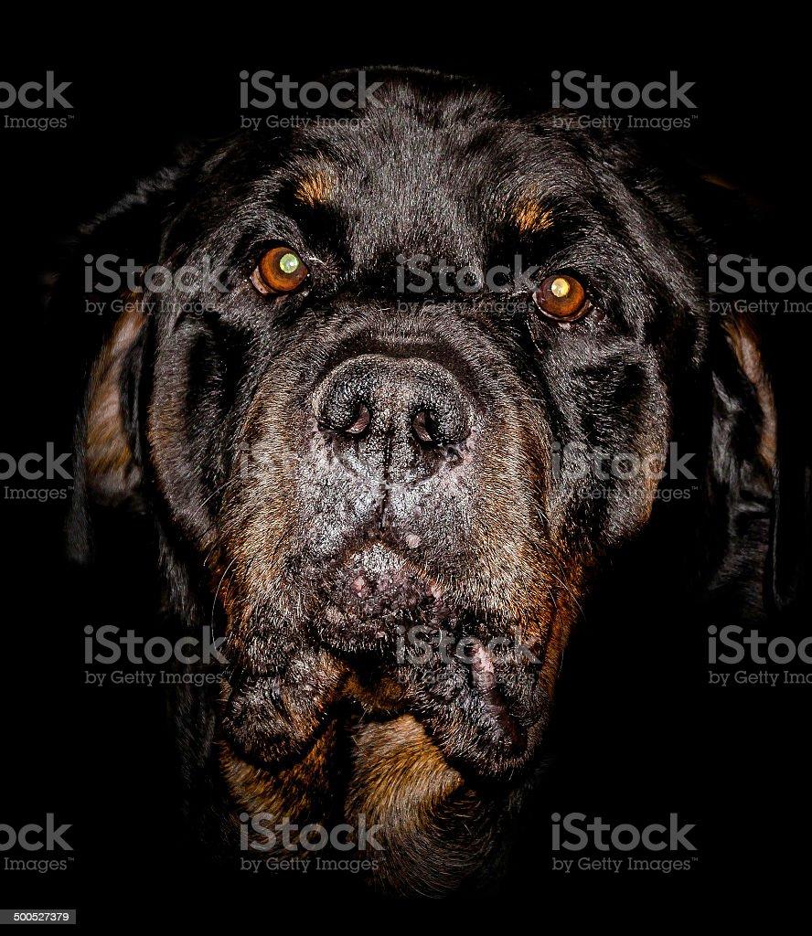 rottweiler portrait, black background, colour image royalty-free stock photo