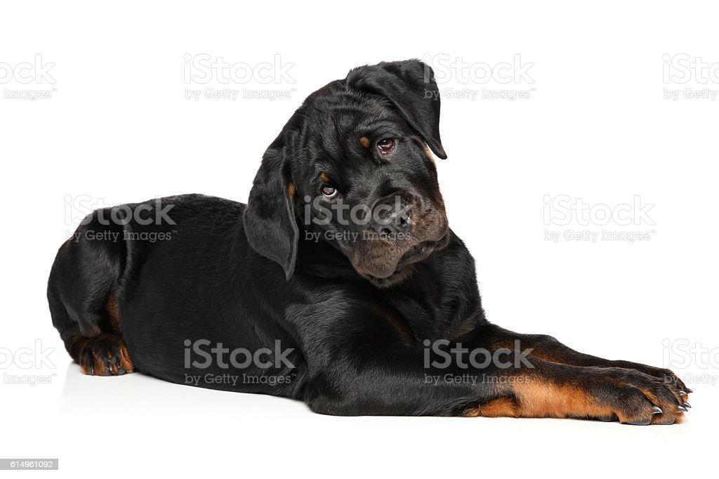 Rottweiler puppy on white background stock photo