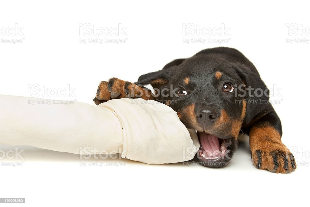 Rottweiler puppy with a huge white bone stock photo