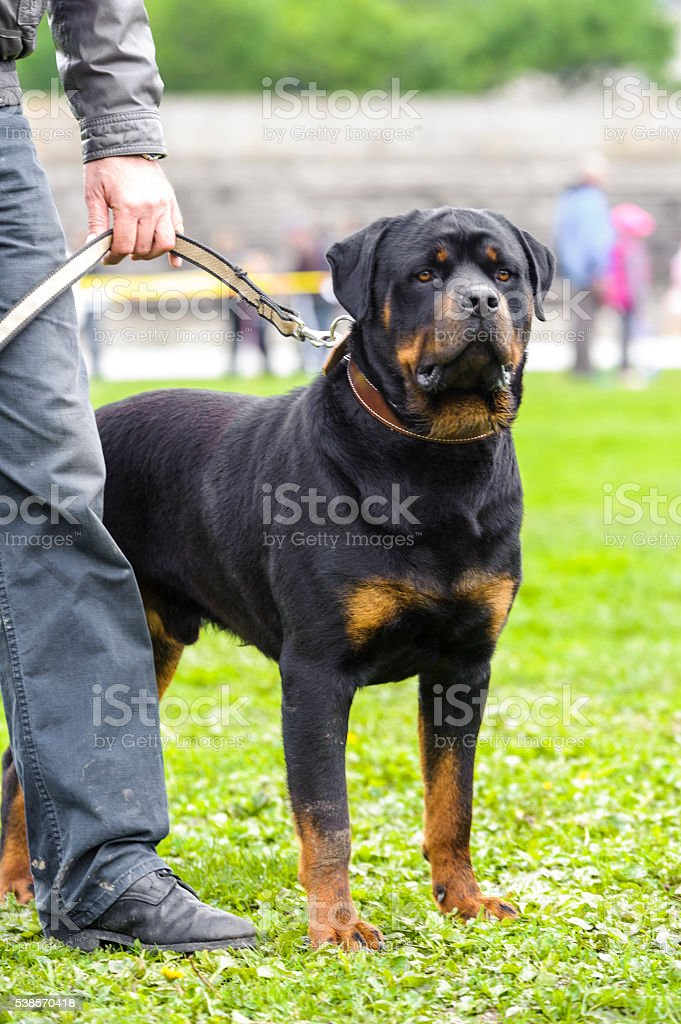 Rottweiler standing royalty-free stock photo