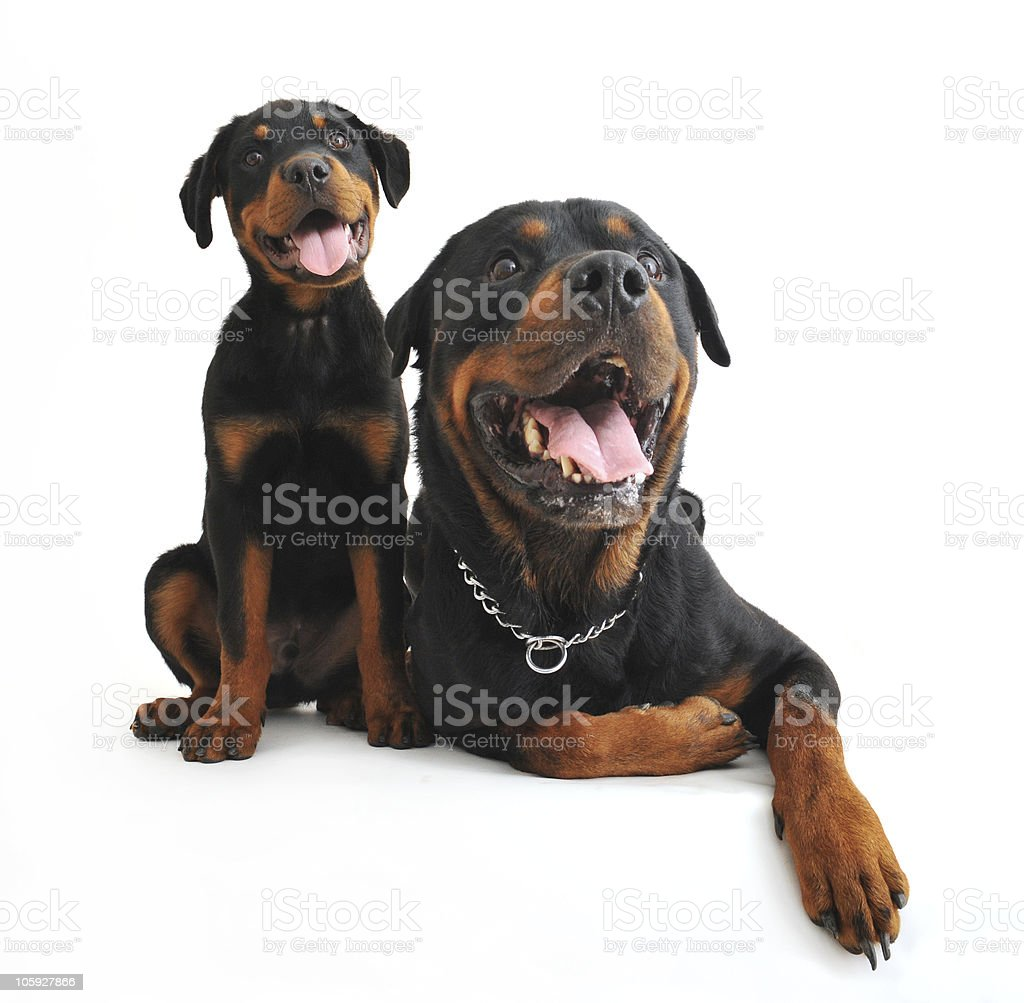 rottweilers royalty-free stock photo