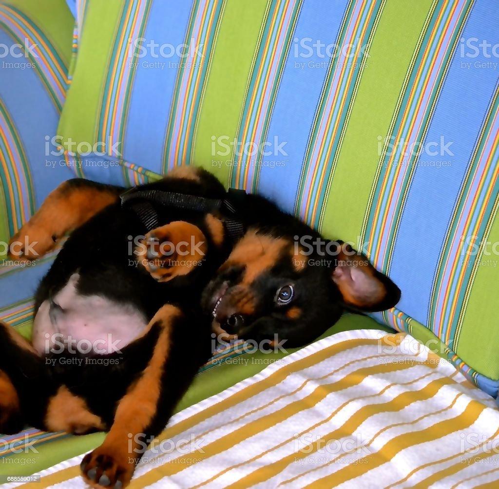Rottweiller Puppy stock photo