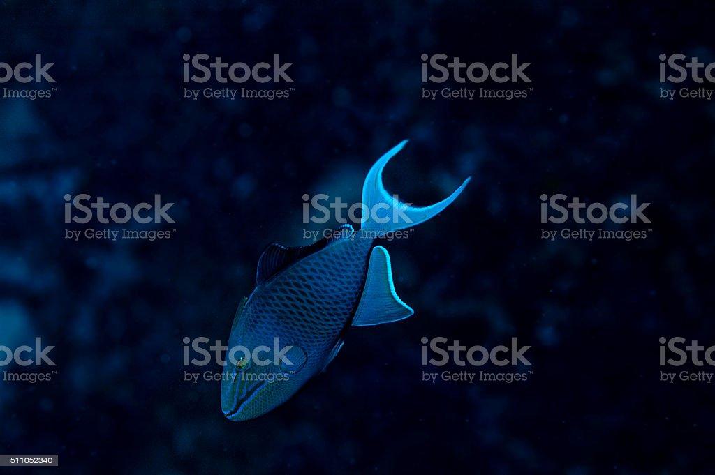 Rotzahn Drückerfisch Indischer Ozean stock photo