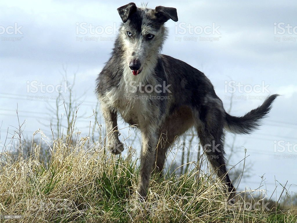 Rough coated blue merle lurcher marking whilst hunting stock photo