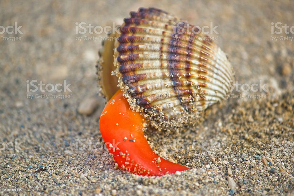 Rough cockle sea shell out of its armor stock photo