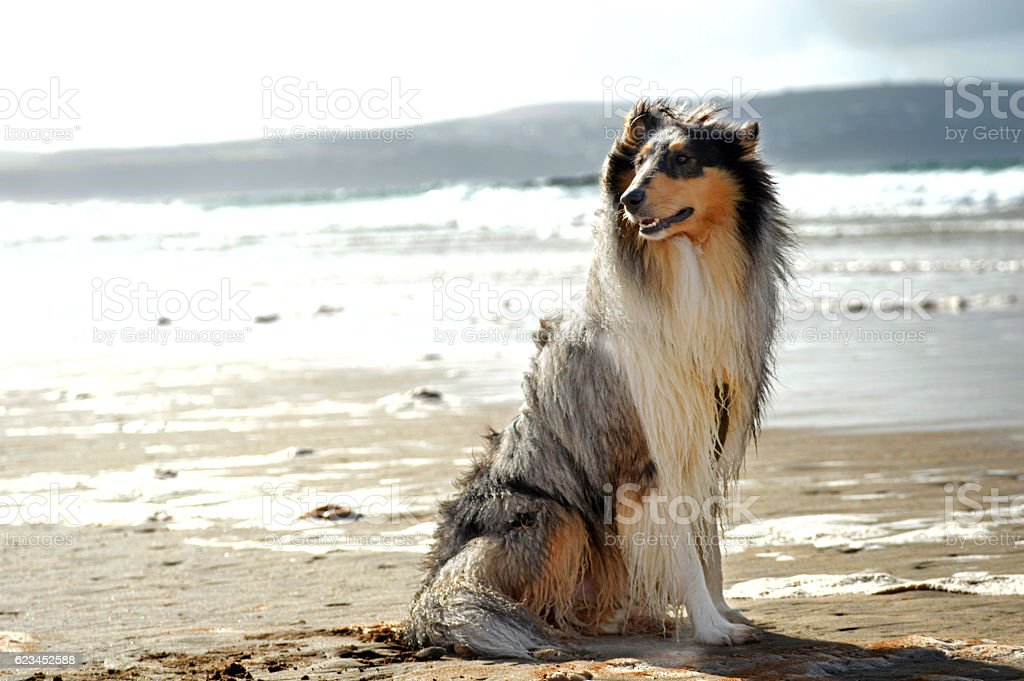 Rough collie dog at the beach stock photo