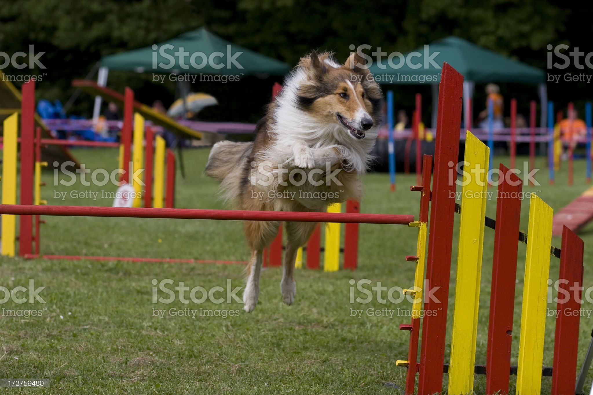 Rough Collie royalty-free stock photo