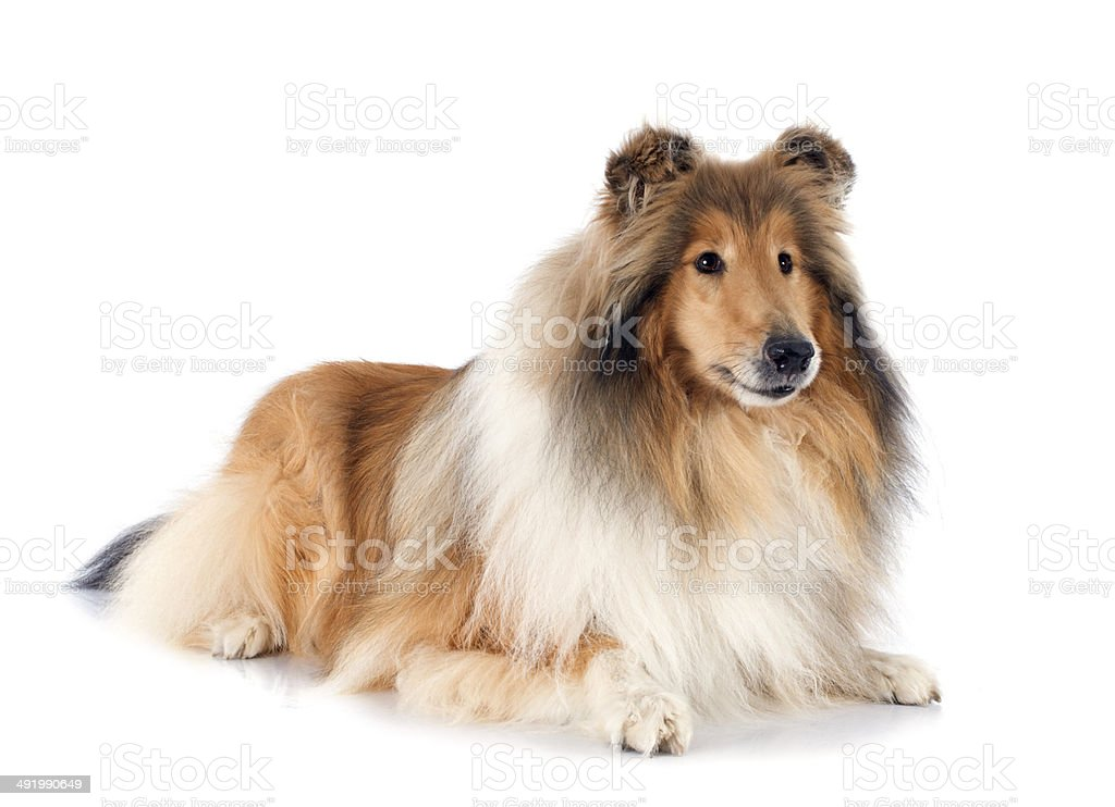 rough collie stock photo