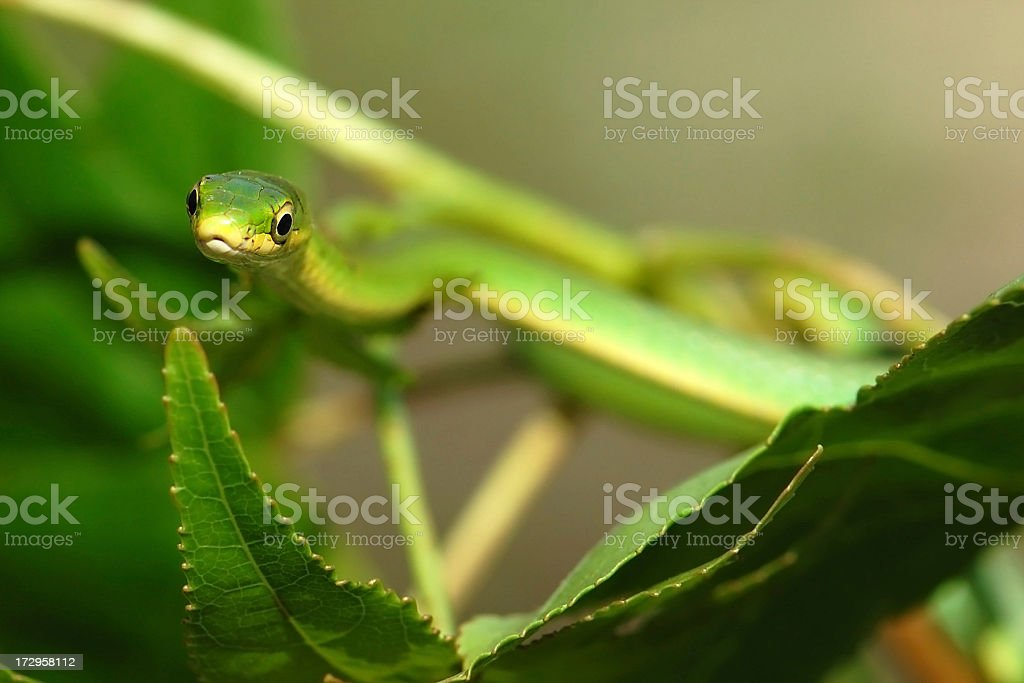 Rough Green Snake in Leaves stock photo