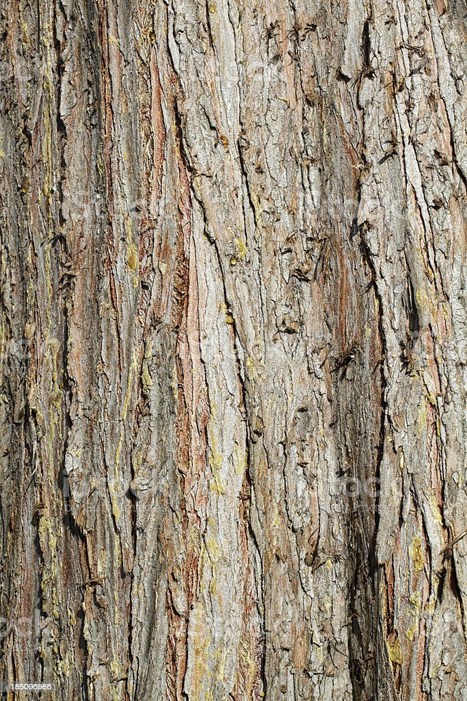 Lawson cypress Chamaecyparis lawsoniana red bark stock photo