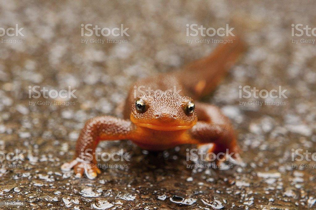 Rough-skinned newt stock photo