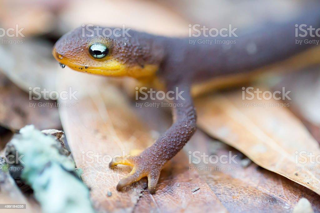 Rough-skinned Newt (Taricha granulosa) stock photo