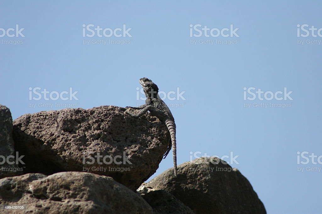 Roughtail Rock Agama (Male) stock photo