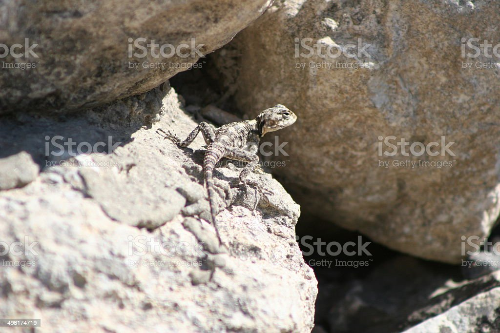 Roughtail Rock Agama (Female) stock photo