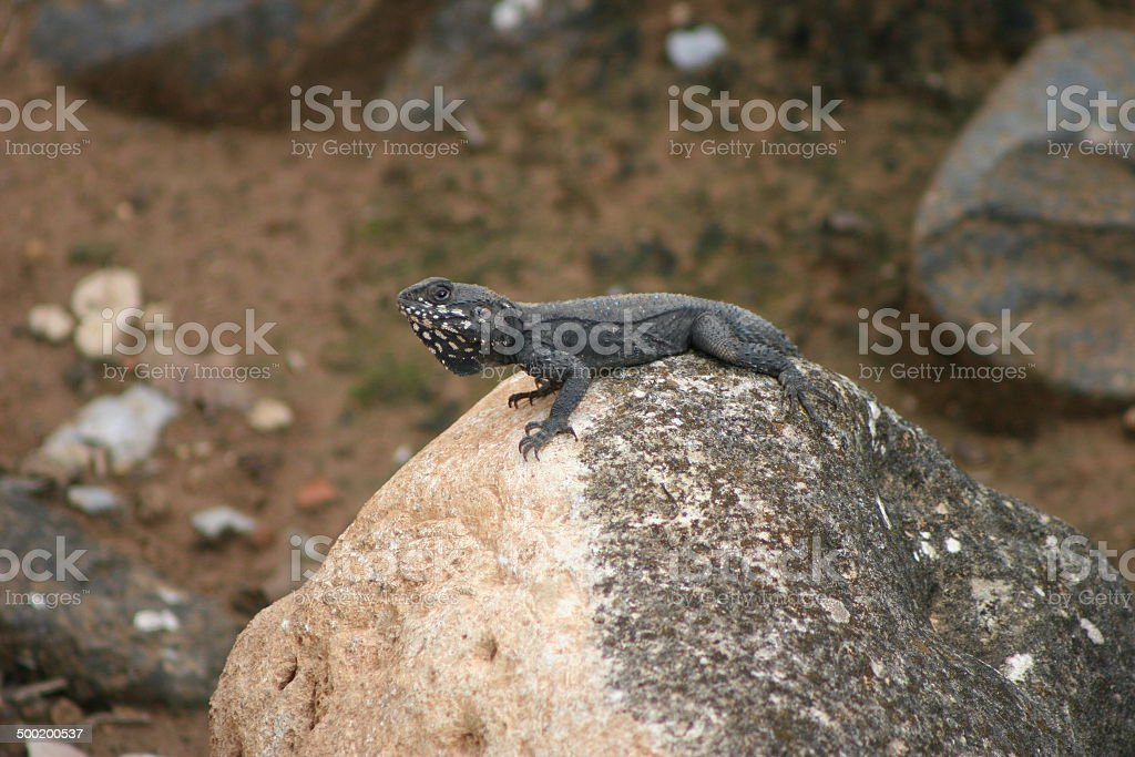 Roughtail Rock Agama stock photo