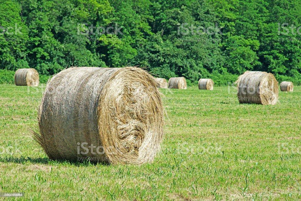 Round bales of straw stock photo