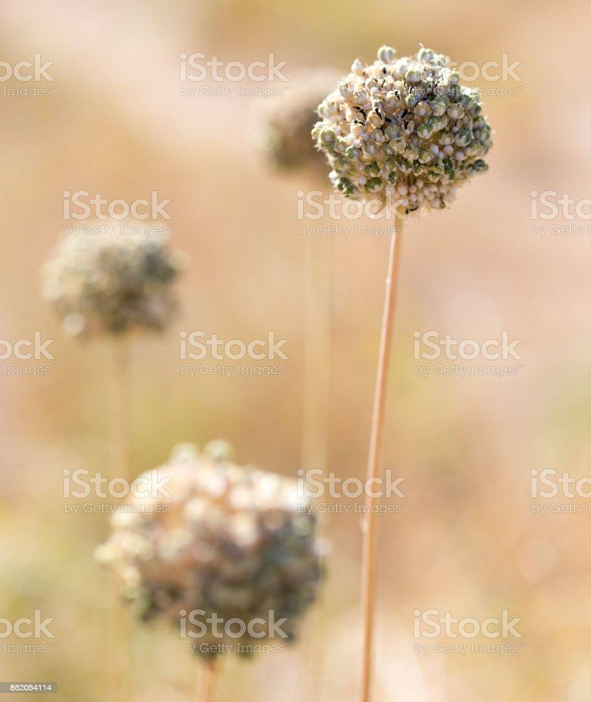 Round dry flower stock photo