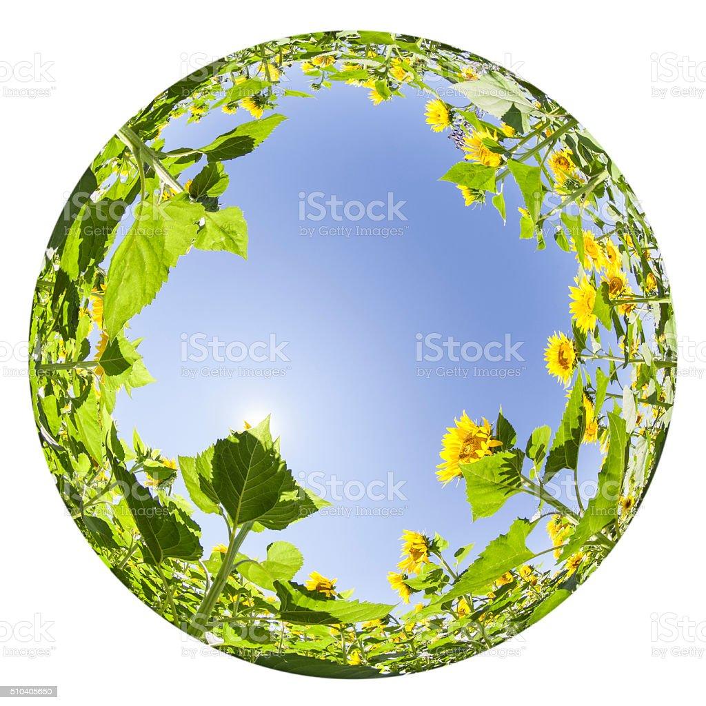 Round Fisheye View Of Sunflower Field In Summer stock photo