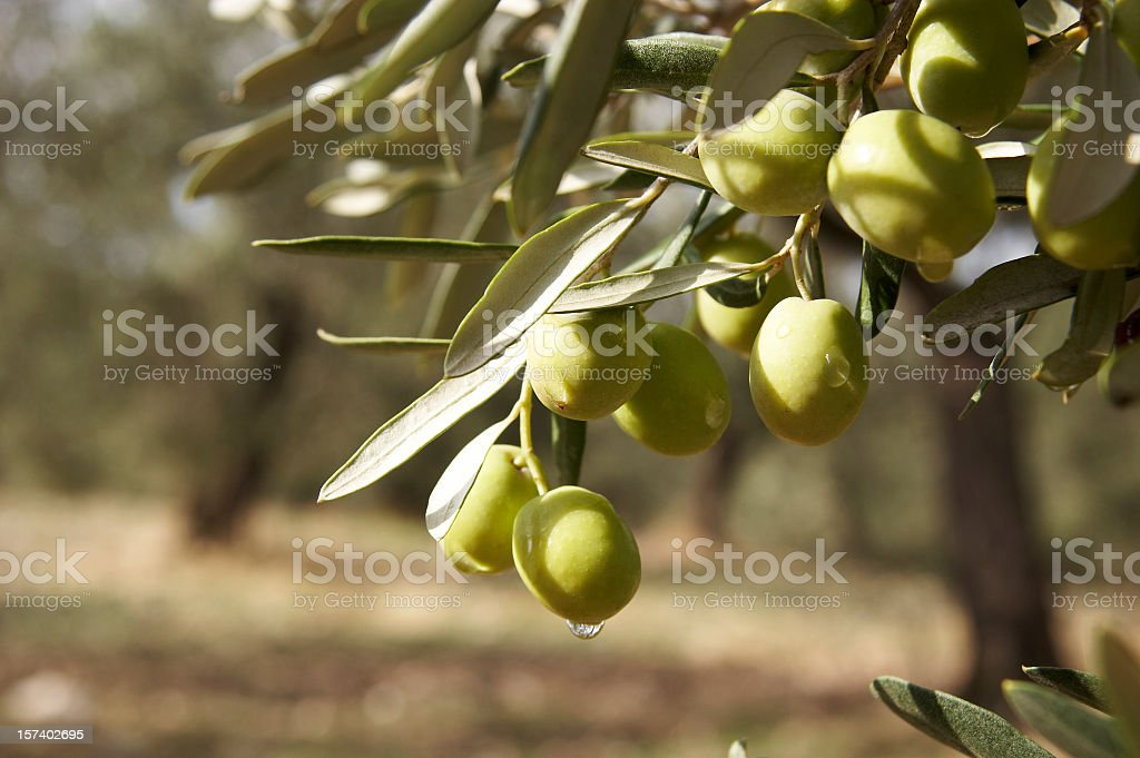 Round green olives attached to the tree stock photo