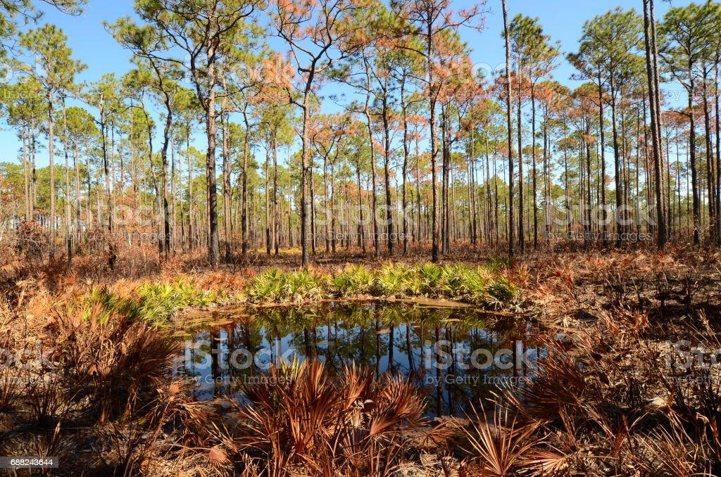 Round pond in pine forest Palmetto understory stock photo