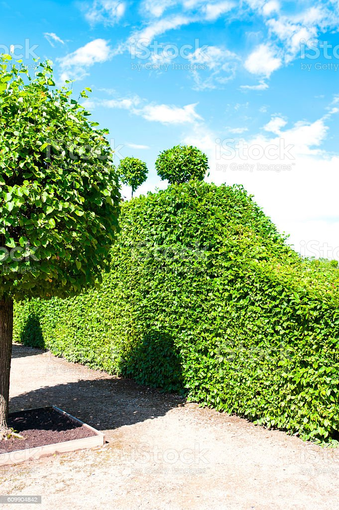 Ancient green trees hedge around ornamental garden in Latvian Rundale...