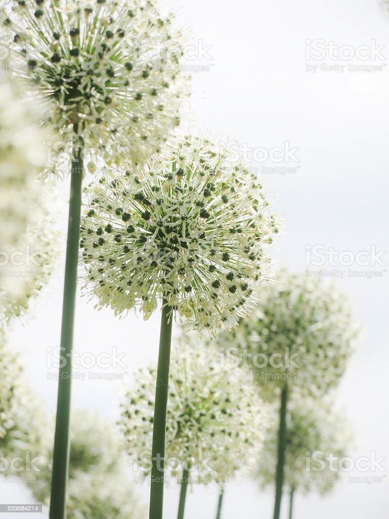 Round White Flowers Against White Sky stock photo