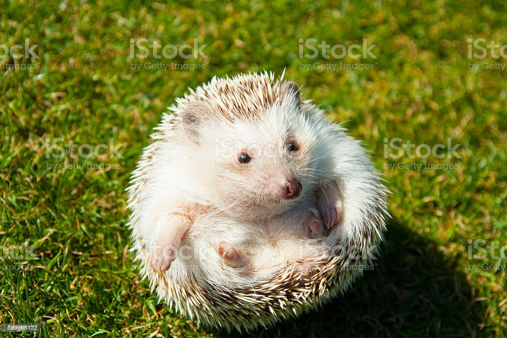 Rounded hedgehog on the lawn stock photo
